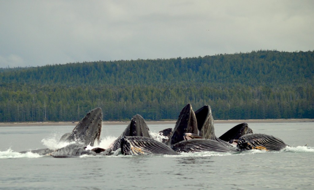 * Feeding time for these bubble feeding humpack whales.