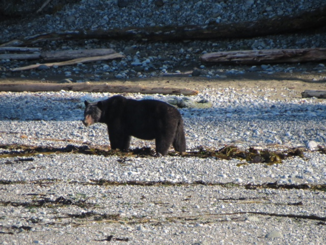 * Black bear spotted on the shores of Graham Island last week chowing down on a seal.