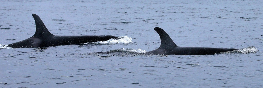 * Pair of Orca Whales passing through.